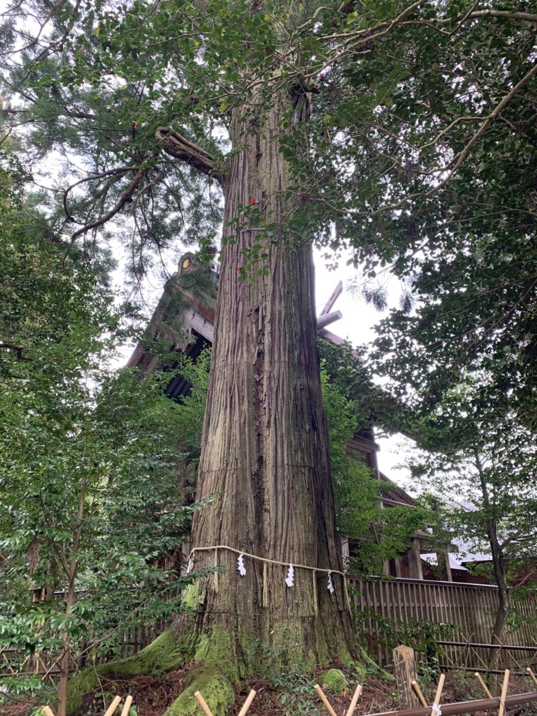 須佐神社 1本杉